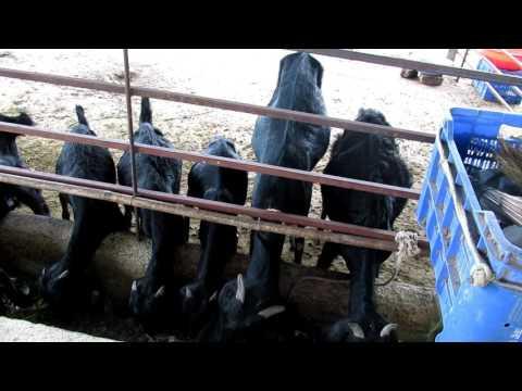Mahesh Taware Osmanabadi Cr Beetal Goat Farm Part 1