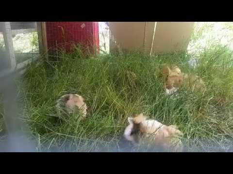 Haruku Stud Live: Guinea pigs on the lawn