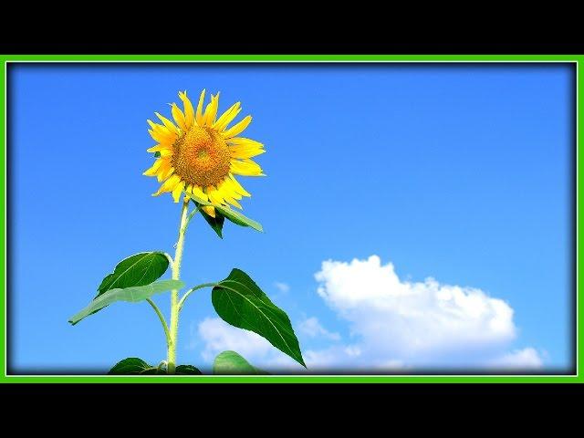Hier ist ein Bild von einer Sonnenblume, weil mir sonst nichts einfällt! - Winning Putt Game