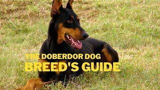 Doberman Pinscher Dog Breed Information