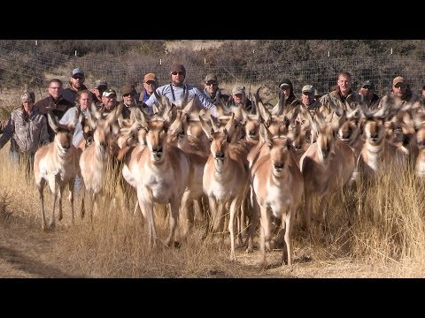 A New Home for Prescott Valley Pronghorn