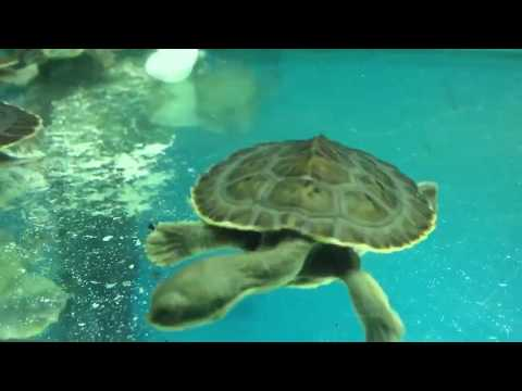 Baby Pet Turtle Packages Melbourne Smallest Baby Turtles