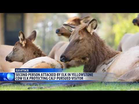 Another Yellowstone NP visitor injured by elk encounter