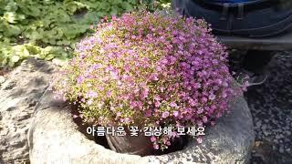 한약재로 쓰이는 작약꽃(뿌리) /아름다운 꽃 3종 구경…