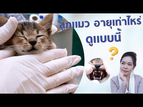 ลูกแมวอายุเท่าไหร่ ดูแบบนี้