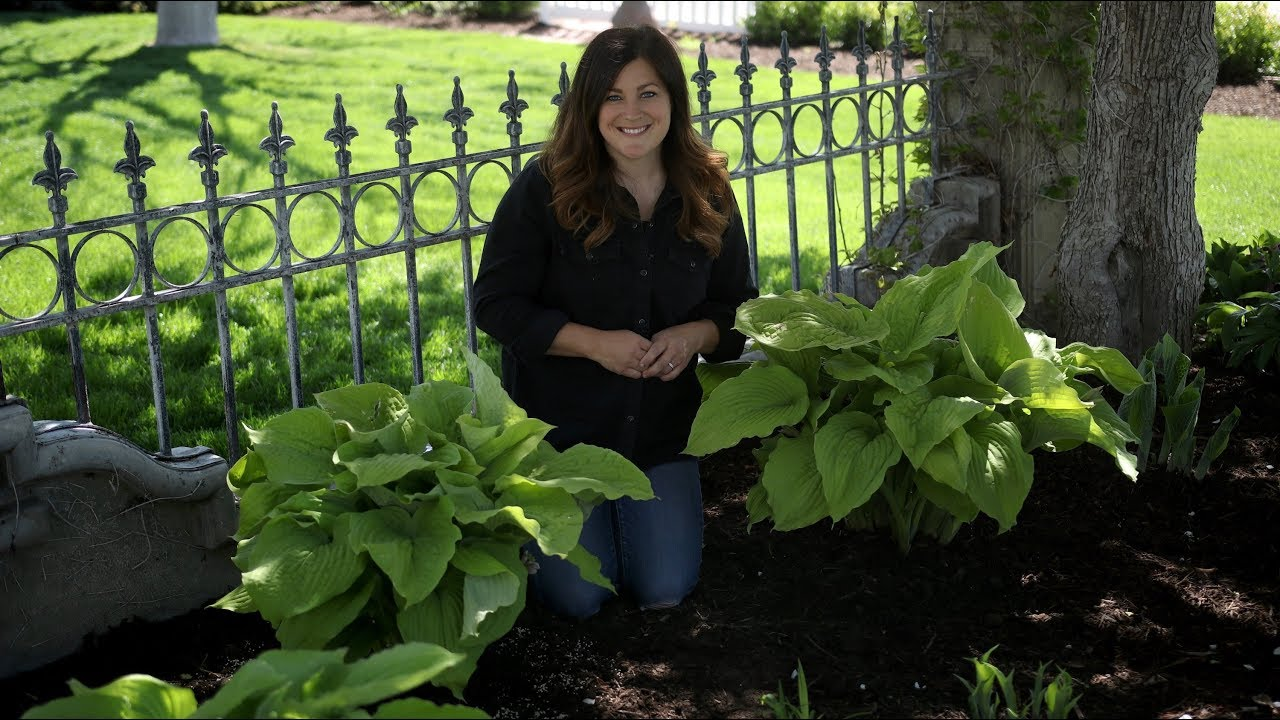Planting Coast To Coast Hostas Garden Answer Youtube