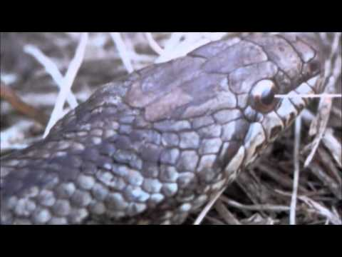 The difference between grass snakes and vipers