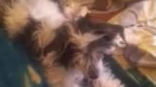 Собака китайская хохлатая Моня         кошка забыл какая порода Мураи я крутой и мамин голос слышно
