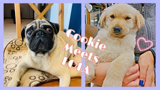 My Dog Meets New Puppy, Cookie and Lola, Pug & Golden Retriever