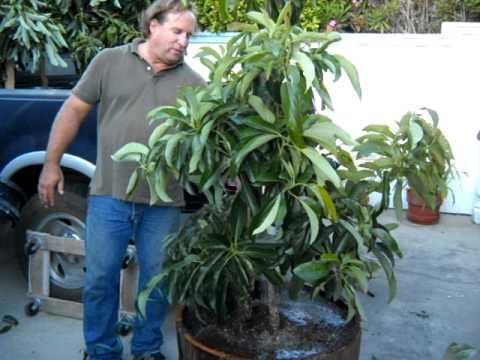 Avocado Tree Wine Barrel Planting Part 3 Avi