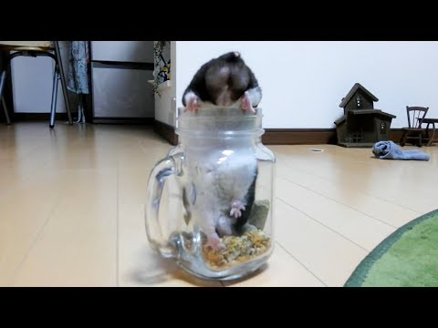 ハムスターのお尻にただただ癒される動画!おもしろ可愛いハムスターA movie that is healed by the Funny hamster's tail!