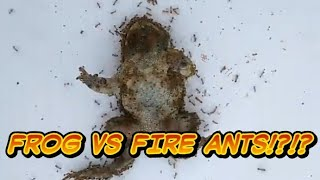 Frog Vs Extreme Fire Ants! - Animal Timelapse