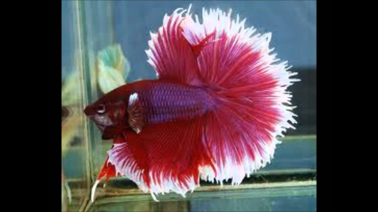 Most beautiful Betta's - YouTube