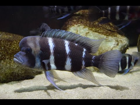Pull The Spray Bar Out Stupid!   African Cichlid Frontosas