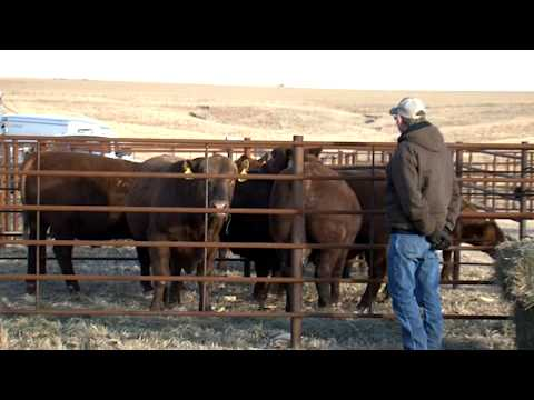 RED ANGUS PROOF 092313