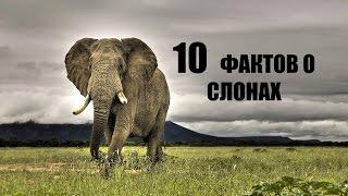 10 УДИВИТЕЛЬНЫХ ФАКТОВ О СЛОНАХ