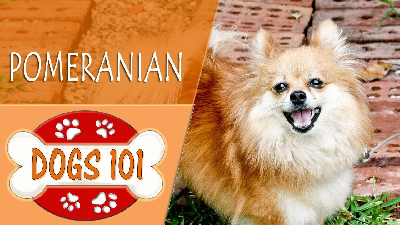 dogs 101 pomeranian dogs 101 pomeranian top dog facts about the pomeranian 9797