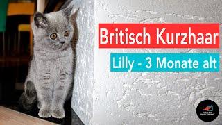 Britisch Kurzhaar Baby Kitten - Lilly Februar 2011