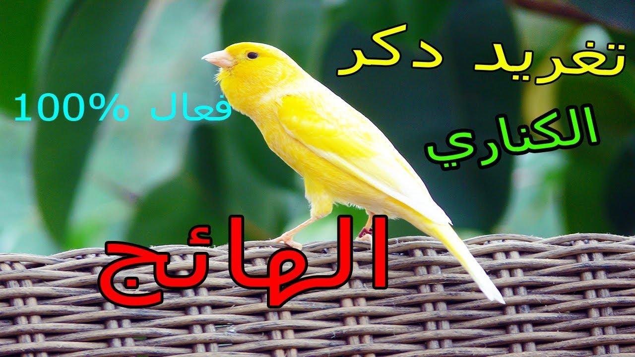 تغريد نار لتهييج طيورك صوت دكر الكناري الهائج Youtube