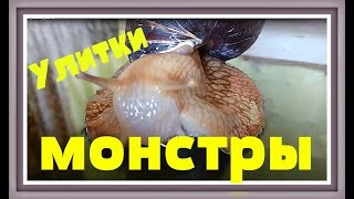 УЛИТКИ АХАТИНЫ СЪЕЛИ КОНТЕЙНЕР Домашние улитки ахатины видео African achatina snails