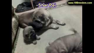 Sharpei, Puppies,for,sale, In,orlando Florida, Fl, Deltona,melbourne,palm Coast,