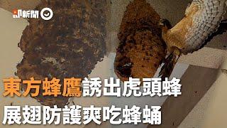 保育類東方蜂鷹攻擊虎頭蜂窩! 靠「聲東擊西」引開守衛蜂|野生動物|保育類動物|覓食|求生欲
