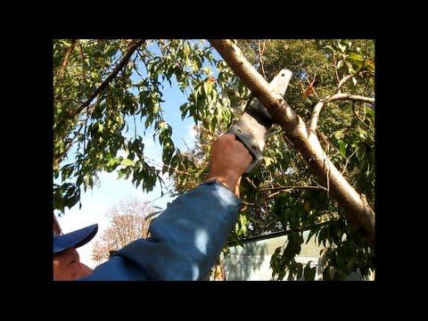 Выращивание персиков в саду. Болезни, урожайные сорта
