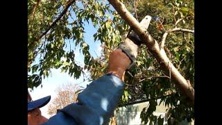 обрезка персиковых деревьев видео