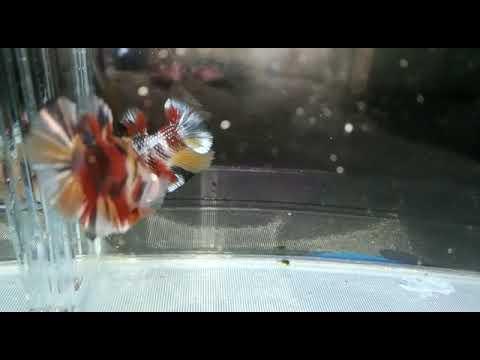 Ikan Cupang Vampir
