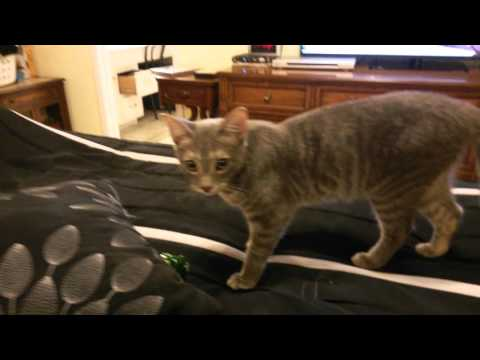Jack the cat fetching his favorite bow toy