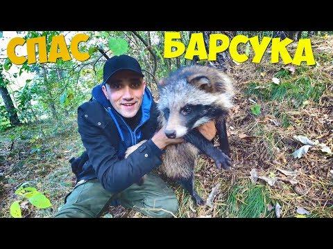 Спас Барсука с капкана Выпустил барсука и фазанов в лес Жарю картошку с колбасками