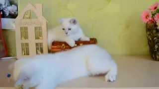 Британские котята окрас серебристая шиншилла-пойнт