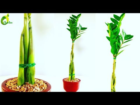ZZ Plant Growing in Braid Style / ZZ Plant Tabletop Decoration / ZZ Plant feng shui Idea