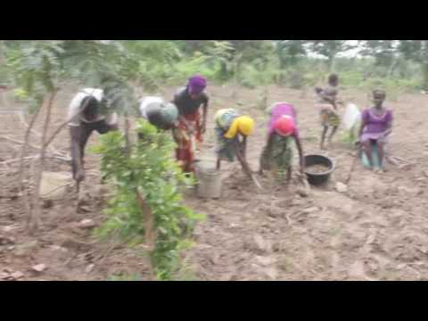 Planting ginger in Nigeria