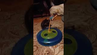 Как играют котята или идеальная игрушка для котенка Мейн-куна