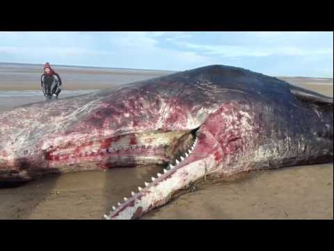 DEAD WHALE AT OLD HUNSTANTON, NORFOLK, UK - 25.12.2011