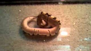 spider ball python head wobble