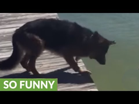 German Shepherd acts as little girl's personal lifeguard