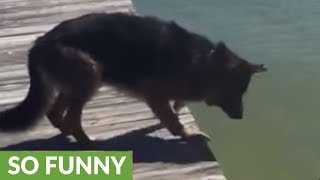 German Shepherd acts as little girl's personal lifeguard