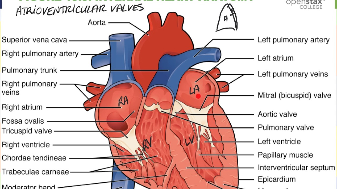 Heart C Internal Anatomy - YouTube
