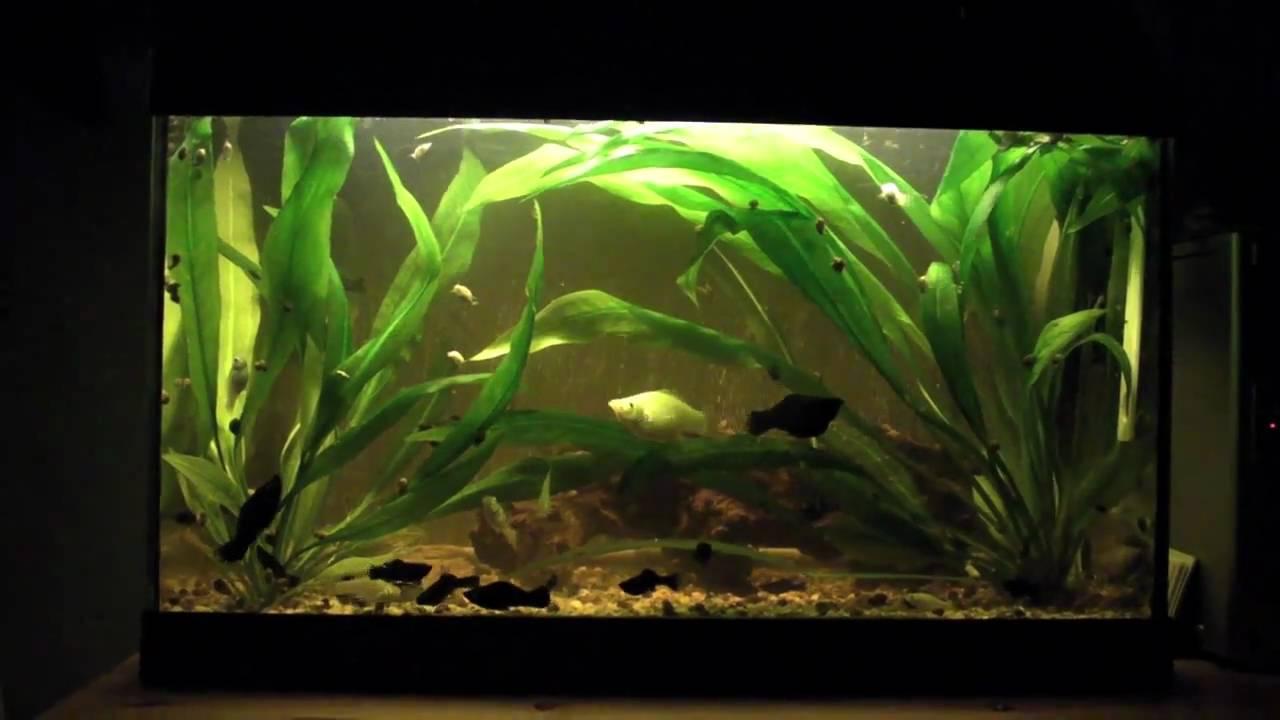 50l tropical molly aquarium youtube for Aquarium 50l