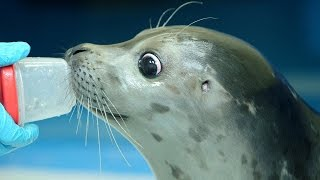 Rescued Alaska harbor seal pup