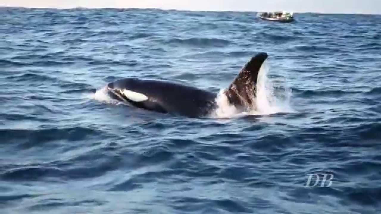 Les Orques Et Les Baleines D'Andenes