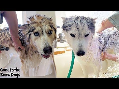 Doggy Day Spa | Husky gets a Bath | Bath Time Challenge