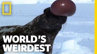 Hooded Seal   World's Weirdest