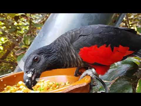 An eating Pesquet's parrot