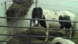 Start Of The Foaling Season 2009 At The Fairytail Miniature Shetland Pony Stud UK