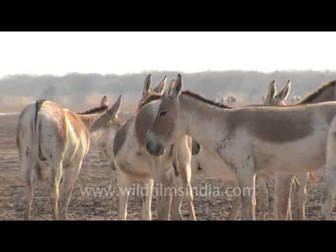 Bad boys - The wild Asses of Gujarat!