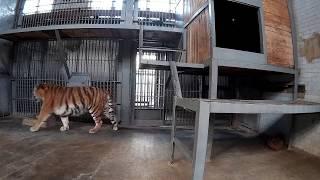 Тигр ходит по вольеру в зоопарке