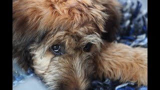 #51 BRIARD 2/2   | Which Dog Should I Get? Dog Breed Selector